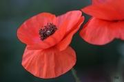 photo fleurs coquelicot fleur rouge femme : coquelicots