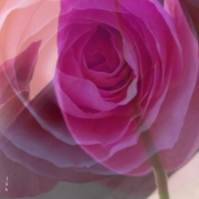 photo fleurs fleur rose douceur parfum : roses