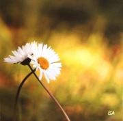 photo fleurs paquerettes etreinte amour jaune : L'étreinte