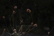 photo araignee fil toile araignee tiges courbees ingeniosite : Araignée