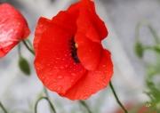 photo fleurs fleur coquelicot rouge fragilite feminite : coquelicots en pleurs