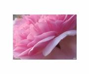 photo fleurs rose tendresse petales parfum : tendresse rose