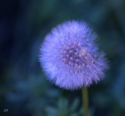 photo fleurs boule ombrelles fragilite legerete : Ombrelles