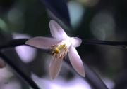 photo fleurs fleur parfum citron fraicheur : fleur citronnier
