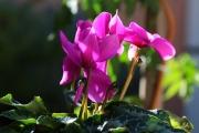 photo fleurs fleur cyclamen rouge rose fraicheur lumiere : cyclamen