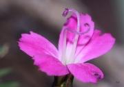 photo fleurs fleur rose sucre macro : fleur rose