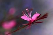 photo fleurs fleurs gaura roses finesse : Fleurs Gaura