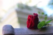 photo fleurs rose rouge parfum repos : rose couchée
