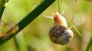 photo animaux escargot gasteropode nature petitgris : Escargot