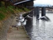 photo animaux mouette envoler fleuve strasbourg : Envolé