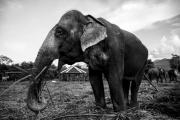 photo animaux elephant asie animal sauvage : Eléphant femelle d'Asie