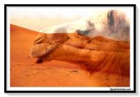 WAHIBA DESERT CAMEL