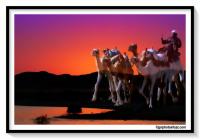 ABOU SINBEL CAMEL 1