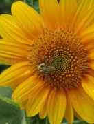photo fleurs abeille fleur nature jardin : L'abeille et la fleur