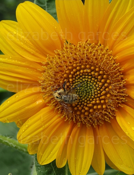 PHOTO abeille fleur nature jardin Fleurs  - L'abeille et la fleur