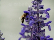photo fleurs abeille fleur nature jardin : Une abeille tranquille