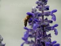 Une abeille tranquille