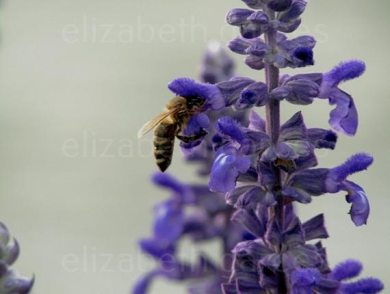 PHOTO abeille fleur nature jardin Fleurs  - Une abeille tranquille