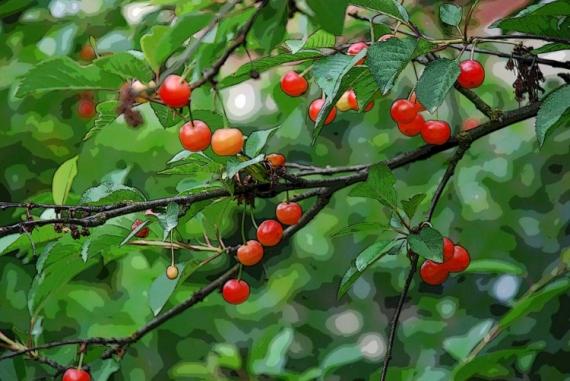 PHOTO cerises Fruits  - Cerises