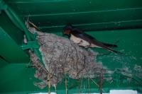 Hirondelle nid