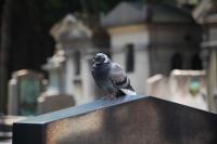 Pigeon tombe