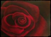 tableau fleurs rose rouge velour fleur : rose
