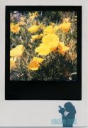 photo fleurs : California