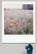 photo fleurs : Poppies Popping up
