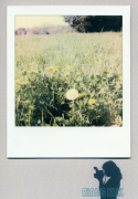 photo paysages : Dandelions