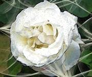 art numerique fleurs fleurs rose printemps : Rose