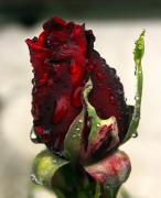photo fleurs rose fleurs pkuie gouttes : Rose