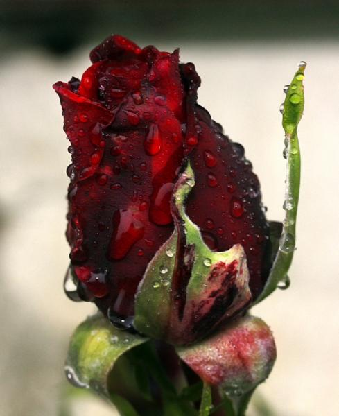 PHOTO rose fleurs pkuie gouttes Fleurs  - Rose