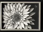 dessin fleurs : Gerbera