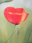 tableau fleurs : Joli coquelicot