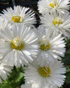 photo fleurs paquerette printemps fleur blanche : PAQUERETTE3