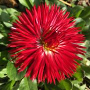 photo fleurs paquerette fleur rouge printemps : PAQUERETTE1