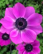 photo fleurs anemone fleur violet printemps : ANEMONE