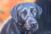 tableau animaux chien labrador : chien labrador noir
