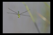 photo animaux libellule vol : Libellule #11