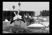 photo animaux oiseaux cigognes nid : Oiseau nb#15