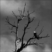 photo animaux oiseau aigle arbre : Minnesota Spirit