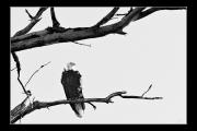 photo animaux oiseau aigle arbre branche : Oiseau nb#08