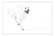 photo animaux chien neige : chien blanc #38