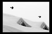 photo animaux oiseaux neige montagne chocards : Oiseau nb#01