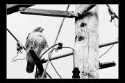 photo animaux oiseau buse : Oiseau nb#09