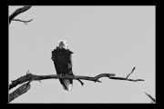 photo animaux oiseau aigle arbre branche : Oiseau nb#07
