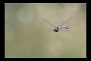 photo animaux libellule vol : Libellule #07