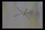 photo animaux libellule vol : Libellule #12