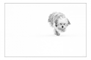 photo animaux chien neige : chien blanc #36