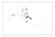 photo animaux chien neige : chien blanc #39
